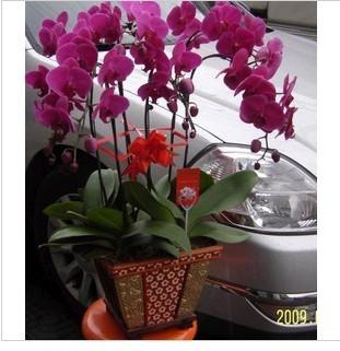石夏兰蝴蝶兰盆栽花卉鲜花图片展示